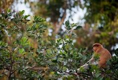 Aap in een regenwoud in Tanjung die Nationaal Park zetten stock foto