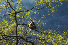 Aap, grijze langurzitting op een boom in Rishikesh, India Royalty-vrije Stock Fotografie
