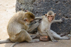 Aap, krab-eet macaque Een middelgrote aap, bruin Ha Royalty-vrije Stock Foto