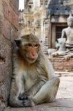Aap, krab-eet macaque Een middelgrote aap, bruin Ha Stock Afbeeldingen