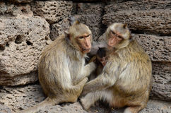 Aap, krab-eet macaque Een middelgrote aap, bruin Ha Stock Afbeelding