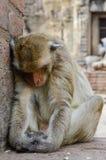 Aap, krab-eet macaque Een middelgrote aap, bruin Ha Royalty-vrije Stock Fotografie
