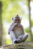 Aap Macaque met lange staart Royalty-vrije Stock Afbeeldingen