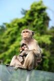 Aap (Macaque Met lange staart) met haar zoete baby. Royalty-vrije Stock Foto's