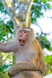 Aap macaque op een close-up van de boomtak, Thailand Royalty-vrije Stock Afbeelding