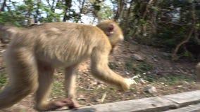 Aap met een nadenkende blik die een banaan eten Een pak apen Denkt om te nemen of niet nemen? stock footage