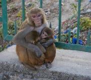 aap - moeder van vele kinderen Royalty-vrije Stock Foto