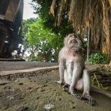 Aap op de straat in Ubud-centrum - de stad is één van de belangrijke kunsten van Bali en cultuurcentra Royalty-vrije Stock Fotografie