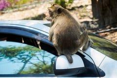 Aap op een auto Stock Foto