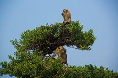 Aap op een boom Royalty-vrije Stock Afbeelding