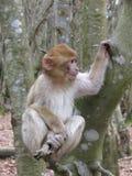Aap op een boom II stock fotografie