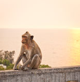 Aap op een muur bij zonsondergang Royalty-vrije Stock Foto