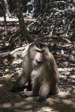 Aap op een weg in de mangrove stock afbeeldingen