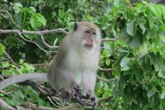 Aap op Phi Phi Don Island, Thailand Royalty-vrije Stock Foto's