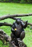 Aap - Orangoetan Stock Foto's