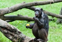 Aap - Orangoetan Royalty-vrije Stock Afbeelding