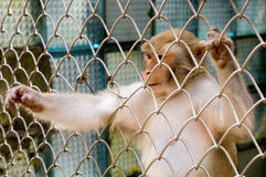 Aap (resusaap macaque) in kooi die uit bereiken Stock Afbeeldingen