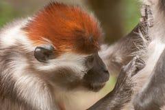 Aap schoonmakend bont van een andere aap Stock Foto