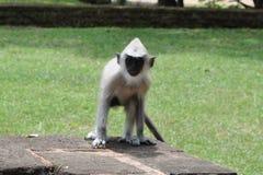 Aap, Sri Lanka stock afbeeldingen