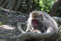 Aap van Arashiyama de Japanse Macaque Stock Foto