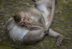 Aap van Bali Royalty-vrije Stock Foto