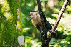 Aapcapuchin zitting op boomtak in regenwoud van Honduras stock afbeeldingen