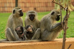 Aapfamilie in Zuid-Afrika Royalty-vrije Stock Fotografie