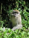 Aapje en Indonesia Foto de archivo libre de regalías