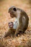 Aapmamma met zoonspuppy Bonnet macaque apen Stock Foto