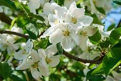 AApple树与天空的开花花在背景中 免版税库存照片