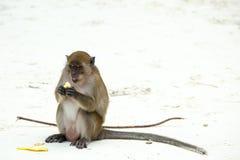 Aapstrand Krab-etend macaque en banaan, phi-Phi, Thailand Stock Foto