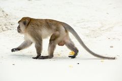 Aapstrand Krab-etend macaque, phi-Phi, Thailand Stock Afbeelding