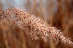 Aar van wilde grassen Royalty-vrije Stock Afbeeldingen