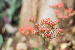 Aarbloem Rood Spike Flower in tuin Stock Afbeeldingen