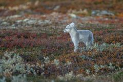 Arctic fox In a autumn landscape royalty free stock photos