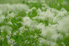 Aard abstracte achtergrond met wit wildflowers en gras Zonnige de zomerdag Bloeiende weide Zachte nadruk stock fotografie