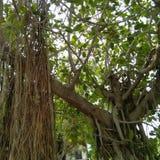 aard bosboom Stock Afbeeldingen