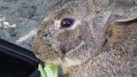 Aard in de Stad: Het leuke konijntjeskonijn voeden op kool bij het strand van Jericho, Vancouver, 2018 stock videobeelden