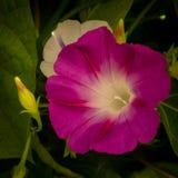 Aard, flora, tuin, bloem, Ipomoea, Ñ  onvolvulaceae, Pharbitis, Quamoclit, Calonyction, ochtendglorie royalty-vrije stock foto's