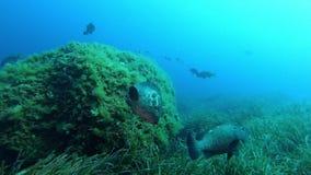 Aard onderwater - de vrijage van Tandbaarsvissen stock footage
