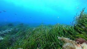 Aard onderwater - Groen posidoniagebied stock videobeelden