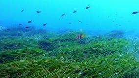 Aard onderwater - Vrij duiken over een zeer groen posidoniagebied stock videobeelden