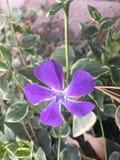 aard purpere bloem royalty-vrije stock foto