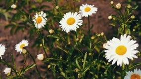 Aard van de zomer, bloemgebieden, wilde bloemweide, plantkunde en biologie Mooie kamillesbloei in een tuin en een slingering stock videobeelden