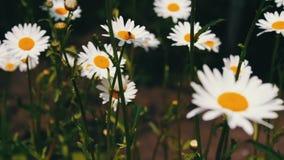 Aard van de zomer, bloemgebieden, wilde bloemweide, plantkunde en biologie Mooie kamillesbloei in een tuin en een slingering stock footage