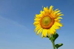 Aardachtergrond met gele zonnebloem Royalty-vrije Stock Fotografie