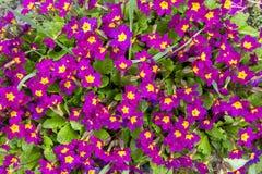 Aardachtergrond met het bloeien roze of purper sleutelbloemenclose-up Mooie magenta bloemen in de lentezonlicht stock afbeelding