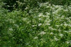 Aardachtergrond met wit wildflowers en gras Wilde peterselie Umbelliferae Zonnige de zomerdag Bloeiende weide stock fotografie
