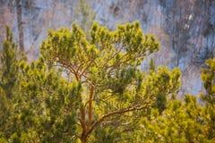 Aardachtergrond van de zonnige naalden van de pijnboomboom op tak Stock Foto's