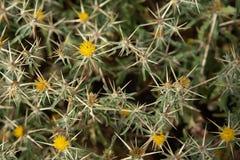 Aardachtergrond van doorninstallaties met gele bloemen Stock Foto